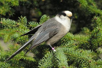 Grey Jay Nominate subspecies Perisoreus canadensis canadensis Mizzy Lake Trail, Algonquin Provincial Park, Ontario 17 October 2010