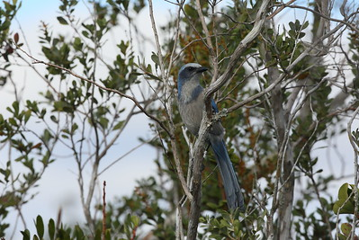 Florida Scrub Jay Aphelocoma coerulescens Avon Park Air Force Range, Highlands County, Florida 09 January 2021