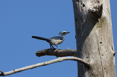 Florida Scrub Jay Aphelocoma coerulescens Carter Creek Tract, Lake Wales Ridge Wildlife & Environmental Area, Avon Park, Florida 03 November 2020