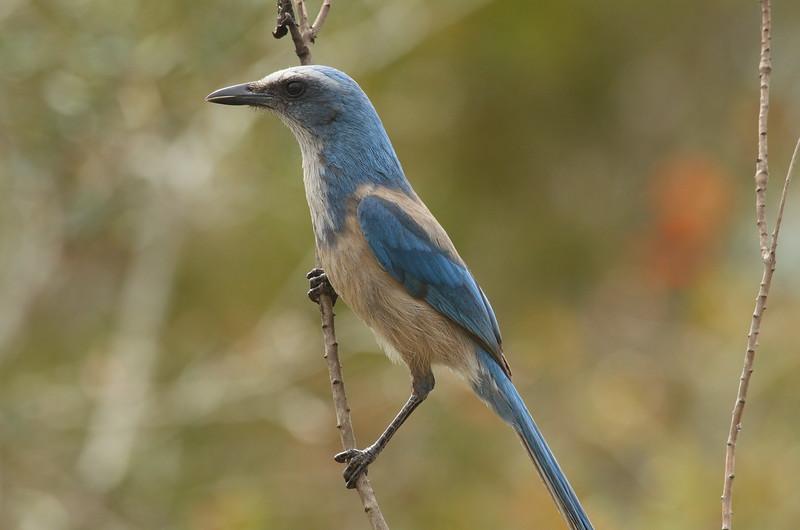 Florida Scrub Jay<br> <i>Aphelocoma coerulescens</i><br> Lake June-in-Winter Scrub State Park, Lake Placid, Florida<br> 21 February 2017