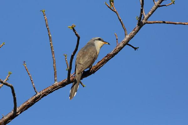 "Mangrove Cuckoo Coccyzus minor J.N. ""Ding"" Darling National Wildlife Refuge, Sanibel, Florida 13 April 2021"