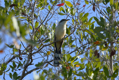 "Mangrove Cuckoo Coccyzus minor J.N. ""Ding"" Darling National Wildlife Refuge, Sanibel, Florida 13 April 2021"