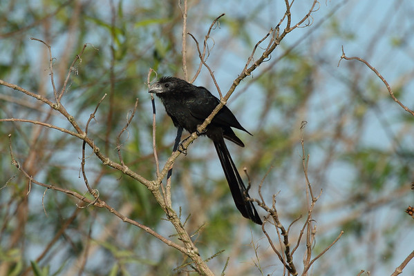 Groove-billed Ani Crotophaga sulcirostris Lake Apopka, Astatula, Florida 22 November 2016