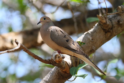 "Mourning Dove ""American"" subspecies Zenaida macroura carolinensis Indigenous Park, Key West, Florida 19 April 2017"