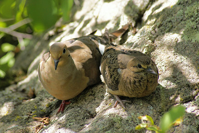 "Mourning Dove ""American"" subspecies Zenaida macroura carolinensis Britannia Conservation Area, Ottawa, Ontario 29 July 2010"