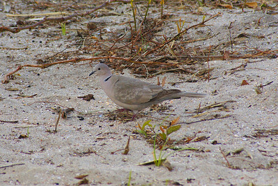 Eurasian Collared Dove Nominate subspecies Streptopelia decaocto decaocto Myrtle Beach, South Carolina 30 April 2010