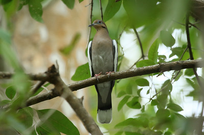 White-winged Dove Nominate subspecies Zenaida asiatica asiatica Lake Parker, Lakeland, Florida 11 October 2016