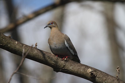 White-winged Dove Nominate subspecies Zenaida asiatica asiatica Avon Park, Florida 1 April 2017