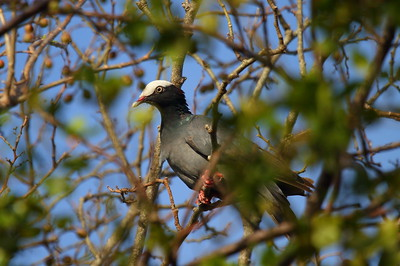 White-crowned Pigeon Patagioenas leucocephala National Key Deer Refuge, Big Pine Key, Florida 18 April 2017
