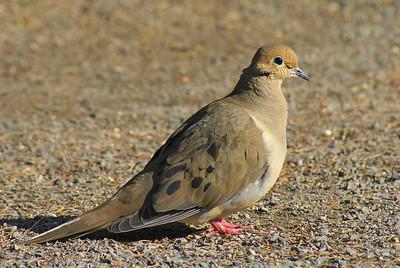 "Mourning Dove ""American"" subspecies Zenaida macroura carolinensis Stony Swamp Conservation Area (Sarsaparilla Trail), Nepean, Ontario 21 March 2012"