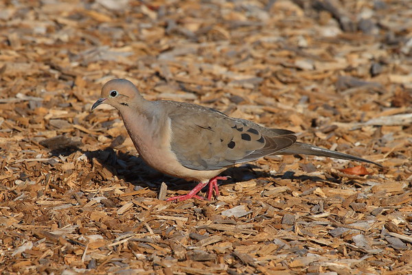 "Mourning Dove ""American"" subspecies Zenaida macroura carolinensis Celery Fields, Sarasota, Florida 29 March 2017"