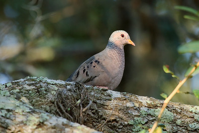 Common Ground Dove Nominate subspecies Columbina passerina passerina Avon Park Air Force Range, Avon Park, Florida 19 November 2016