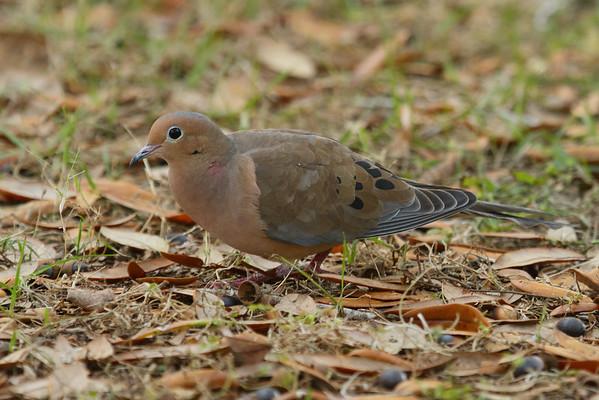 "Mourning Dove ""American"" subspecies Zenaida macroura carolinensis Circle B Bar Reserve, Lakeland, Florida 13 December 2016"