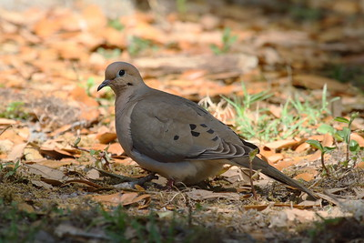 "Mourning Dove ""American"" subspecies Zenaida macroura carolinensis Circle B Bar Reserve, Lakeland, Florida 6 March 2018"
