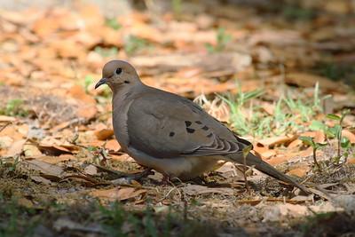 "Mourning Dove ""American"" subspecies Zenaida macroura carolinensis Circle B Bar Reserve, Lakeland, Florida 6 March 2018"
