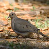 "Mourning Dove<br> ""American"" subspecies<br> <i>Zenaida macroura carolinensis</i><br> Circle B Bar Reserve, Lakeland, Florida<br> 6 March 2018"