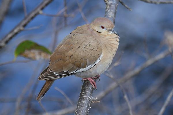 White-winged Dove Nominate subspecies Zenaida asiatica asiatica Wakodahatchee Wetlands, Delray Beach, Florida 12 January 2019