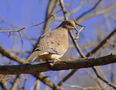 "Mourning Dove ""American"" subspecies Zenaida macroura carolinensis Shirley's Bay, Ottawa, Ontario 2 November 2008"