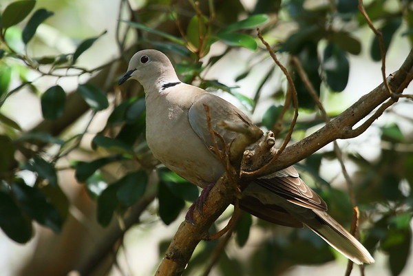 Eurasian Collared Dove  Nominate subspecies  Streptopelia decaocto decaocto Indigenous Park, Key West, Florida 19 April 2017