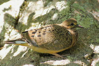 "Mourning Dove (fledgling) ""American"" subspecies Zenaida macroura carolinensis Britannia Conservation Area, Ottawa, Ontario 29 July 2010"