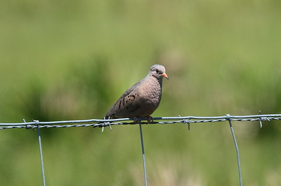Common Ground Dove Nominate subspecies Columbina passerina passerina Avon Park Air Force Range, Highlands County, Florida 18 May 2019