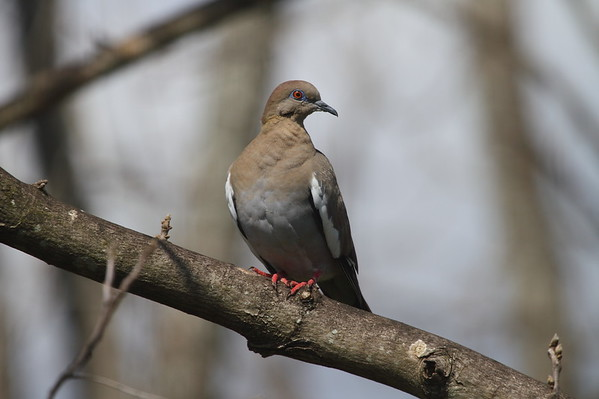 White-winged Dove Nominate subspecies Zenaida asiatica asiatica Avon Park, Florida 1 April 2017
