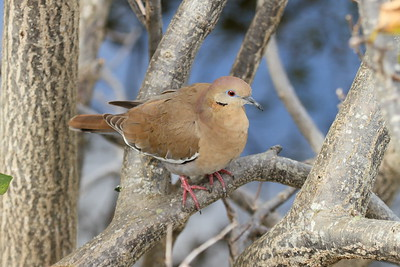 White-winged Dove Nominate subspecies Zenaida asiatica asiatica Wakodahatchee Wetlands, Delray Beach, Florida 12 January 2019