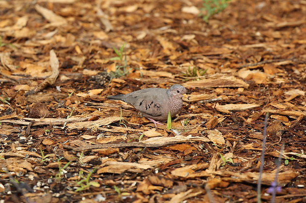 Common Ground Dove Nominate subspecies Columbina passerina passerina Celery Fields, Sarasota, Florida 14 November 2019