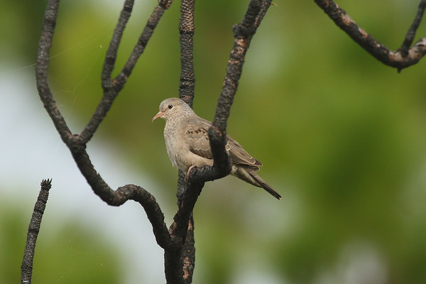 Common Ground Dove Nominate subspecies Columbina passerina passerina Avon Park Air Force Range, Polk County, Florida 22 January 2017