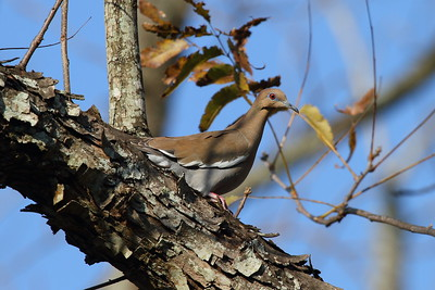 White-winged Dove Nominate subspecies Zenaida asiatica asiatica Avon Park, Florida 3 February 2017