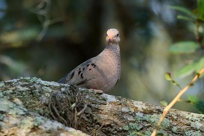 Common Ground Dove Nominate subspecies Columbina passerina passerina Avon Park Air Force Range, Avon Park, Florida 19 November 2016