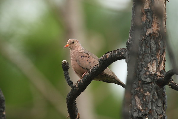 Common Ground Dove Nominate subspecies Columbina passerina passerina Avon Park Air Force Range, Avon Park, Florida 22 January 2017
