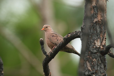 Common Ground Dove Nominate subspecies Columbina passerina passerina Avon Park Air Force Range, Avon Park, Florida 22 January 2017