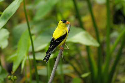 American Goldfinch (male) Nominate subspecies Spinus tristis tristis Britannia Conservation Area, Ottawa, Ontario 14 August 2010