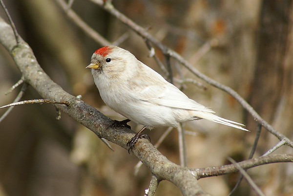 Common Redpoll (leucistic form) Nominate subspecies Acanthis flammea flammea Shirley's Bay, Ottawa, Ontario 17 March 2011