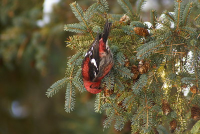 Two-barred Crossbill (male) Nominate subspecies Loxia leucoptera leucoptera Fletcher Wildlife Garden, Ottawa, Ontario 25 January 2009