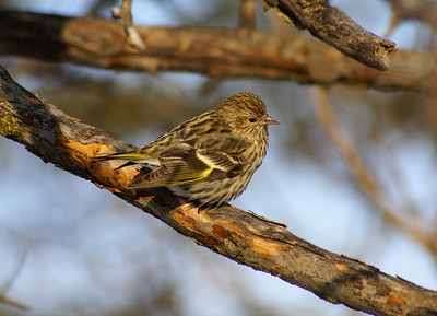 Pine Siskin Nominate subspecies Spinus pinus pinus Shirley's Bay, Ottawa, Ontario 16 January 2009