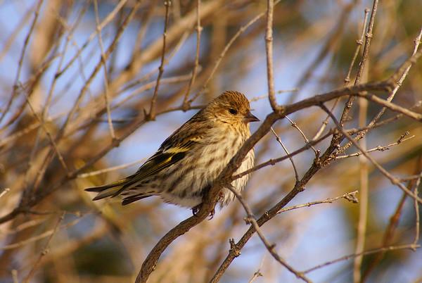 Pine Siskin Nominate subspecies Spinus pinus pinus Hastings Road, Ottawa, Ontario 16 January 2009