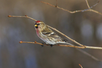 Common Redpoll (male) Nominate subspecies Acanthis flammea flammea Shirley's Bay, Ottawa, Ontario 28 December 2010