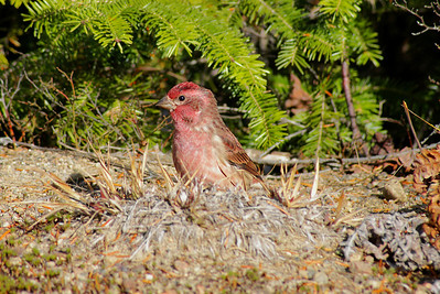 Purple Finch (male) Nominate subspecies Haemorhous purpureus purpureus Mizzy Lake Trail, Algonquin Provincial Park, Ontario 17 October 2010
