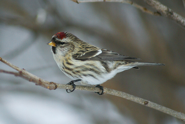 Common Redpoll Nominate subspecies Acanthis flammea flammea Shirley's Bay, Ottawa, Ontario 26 December 2010