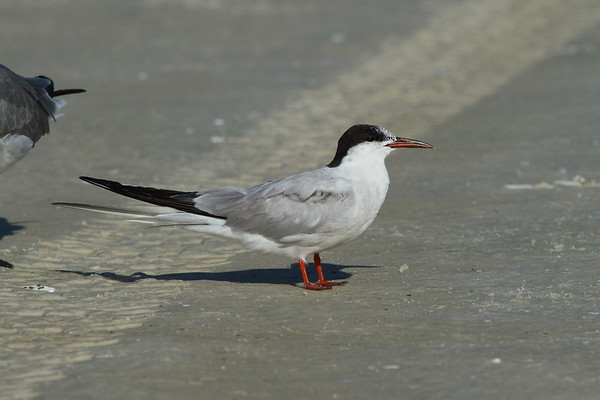 Common Tern Nominate subspecies Sterna hirundo hirundo Siesta Key Beach, Siesta Key, Florida 6 September 2018