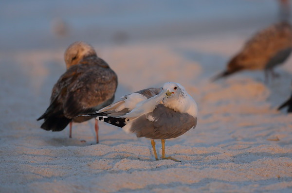 California Gull Larus californicus Siesta Beach, Siesta Key, Florida 23 February 2021
