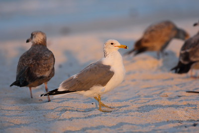 California Gull Larus californicus Siesta Beach, Siesta Key, Florida 23 February 2021