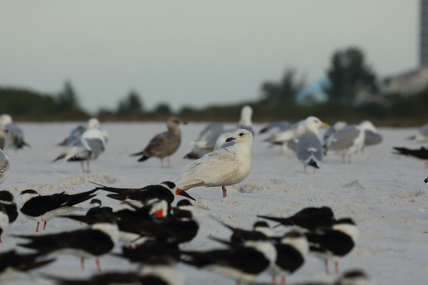 "Iceland Gull (juvenile) ""Kumlien's"" subspecies Larus glaucoides kumlieni Siesta Beach, Siesta Key, Florida 23 February 2021"