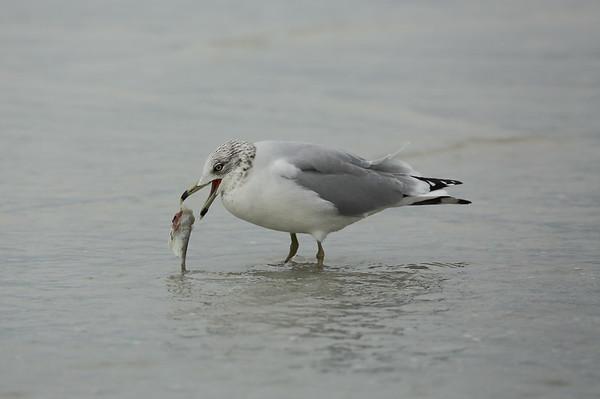 Ring-billed Gull Larus delawarensis Siesta Beach, Siesta Key, Florida 14 November 2019