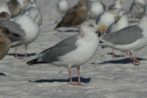 American Herring Gull Larus smithsonianus Siesta Key Beach, Siesta Key, Florida 25 December 2016