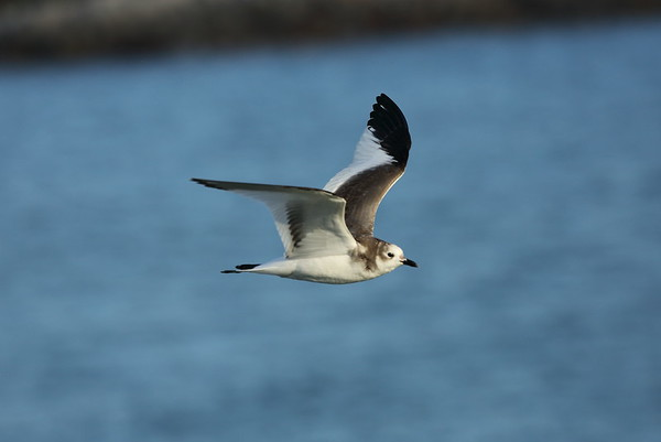 Sabine's Gull (juvenile) Xema sabini Jetty Park Fishing Pier, Port Canaveral, Florida 24 November 2020