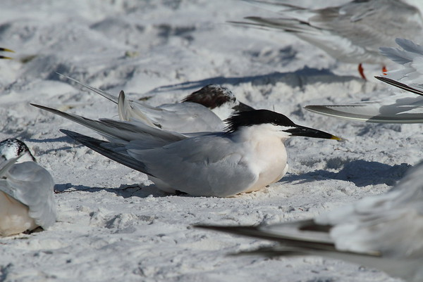 Cabot's Tern Nominate subspecies Thalasseus acuflavidus acuflavidus Siesta Beach, Siesta Key, Florida 9 March 2017