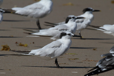 Cabot's Tern Nominate subspecies Thalasseus acuflavidus acuflavidus Merritt Island National Wildlife Refuge, Titusville, Florida 18 October 2016